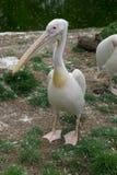 Pélican blanc oriental Photos libres de droits