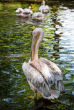 Pélican blanc sur le lac vert Photographie stock