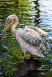 Pélican blanc sur le lac vert Image stock