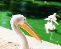 Pélican blanc sur un étang sur une fin de jour d'été  Photo libre de droits