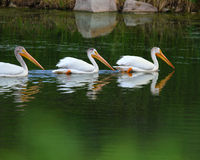 Pélican blanc - Teton grand NP Image libre de droits