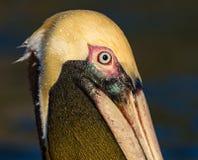 Pélican brun américain dans le plumage d'élevage Photos libres de droits