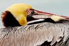 Pélican brun de la Californie Photographie stock