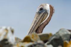 Pélican brun de la Californie Images libres de droits