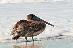 Pélican brun simple, se tenant en ressac tropical, en difficulté de la marée rouge photographie stock