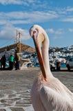Pélican célèbre dans Mykonos Photographie stock libre de droits