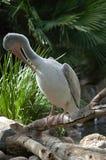 Pélican chez San Diego Zoo Photos stock