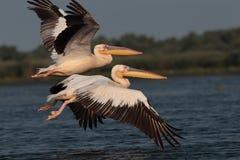 Pélican commun de blanc volant au-dessus du lac Photographie stock libre de droits