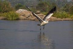 Pélican décollant de l'eau Photos stock
