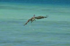 Pélican décollant en vol dans Aruba photo libre de droits