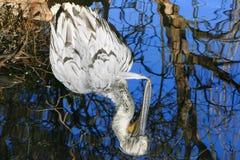 Pélican dalmatien Photographie stock libre de droits