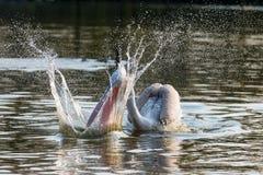 Pélican dalmatien adulte essayant de pêcher un poisson Images stock