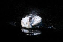 Pélican dans l'eau Image libre de droits
