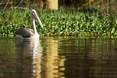 Pélican dans l'eau Photo stock