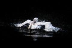 Pélican dans l'océan Photos stock
