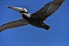 Pélican dans le vol étiré Photos libres de droits