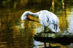 Pélican dans le zoo photographie stock libre de droits
