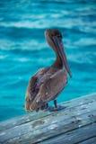 Pélican de Belize images libres de droits