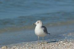 Pélican de Brown à la plage de piscine découverte Photographie stock libre de droits
