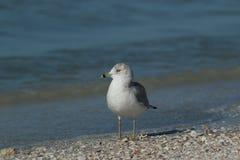 Pélican de Brown à la plage de piscine découverte Photographie stock