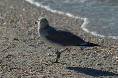 Pélican de Brown à la plage de piscine découverte Image libre de droits