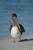 Pélican de Brown à la plage de piscine découverte Images libres de droits