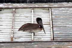 Pélican de Brown Photographie stock libre de droits