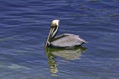 Pélican de Brown Photo libre de droits