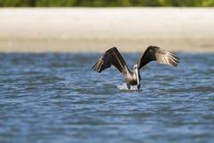 Pélican de Brown au décollage Photos stock