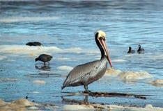 Pélican de Brown avec des foulques maroules à la plage de Ventura à côté du marécage de la rivière Santa Clara sur la Gold Coast  image libre de droits