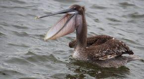 Pélican de Brown dans la baie avec la bouche ouverte photographie stock