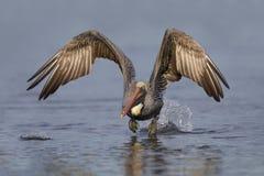 Pélican de Brown effectuant le vol d'une lagune St Petersburg, Flor photo libre de droits