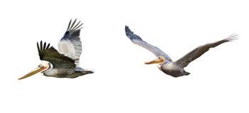 Pélican de Brown en vol Photos libres de droits