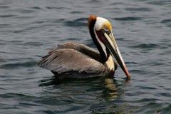 Pélican de Brown, l'océan pacifique Photo stock