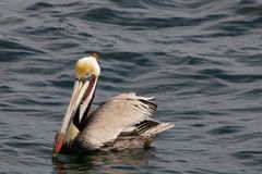 Pélican de Brown, l'océan pacifique Photos libres de droits