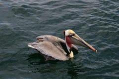 Pélican de Brown, l'océan pacifique Image stock