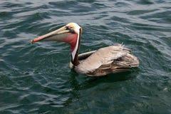 Pélican de Brown, l'océan pacifique Image libre de droits