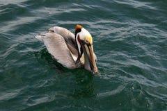 Pélican de Brown, l'océan pacifique Photos stock