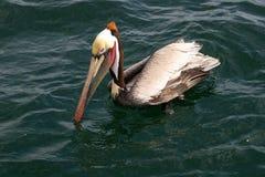 Pélican de Brown, l'océan pacifique Photographie stock