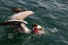 Pélican de Brown, l'océan pacifique Photo libre de droits