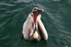 Pélican de Brown, l'océan pacifique Images stock