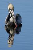 Pélican de Brown, occidentalis de Pelecanus Photo stock