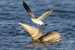 Pélican de Brown, occidentalis de pelecanus Photos libres de droits
