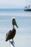 Pélican de Brown (occidentalis de pelecanus) Photographie stock libre de droits