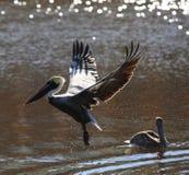 Pélican de Brown pêchant au-dessus de la rivière Image libre de droits