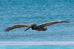 Pélican de Brown - Pelecanus Occidentalis Photos stock