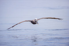 Pélican de Brown - Pelecanus Occidentalis Photographie stock libre de droits