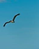 Pélican de Brown volant au-dessus d'un bord de la mer tropical Photo libre de droits