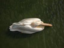 Pélican de ci-avant Image stock