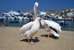 Pélican de Mykonos, Grèce Image libre de droits